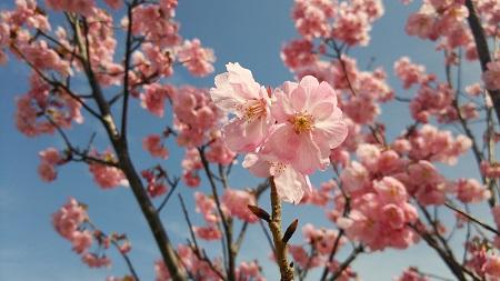 ふれあいの丘の桜が咲き始めました