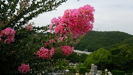 さるすべりの木に花が咲き始めました。