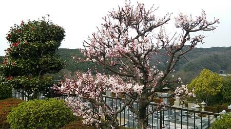 管理棟前の梅が開花しました。