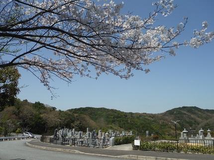苑内の桜が咲きました。