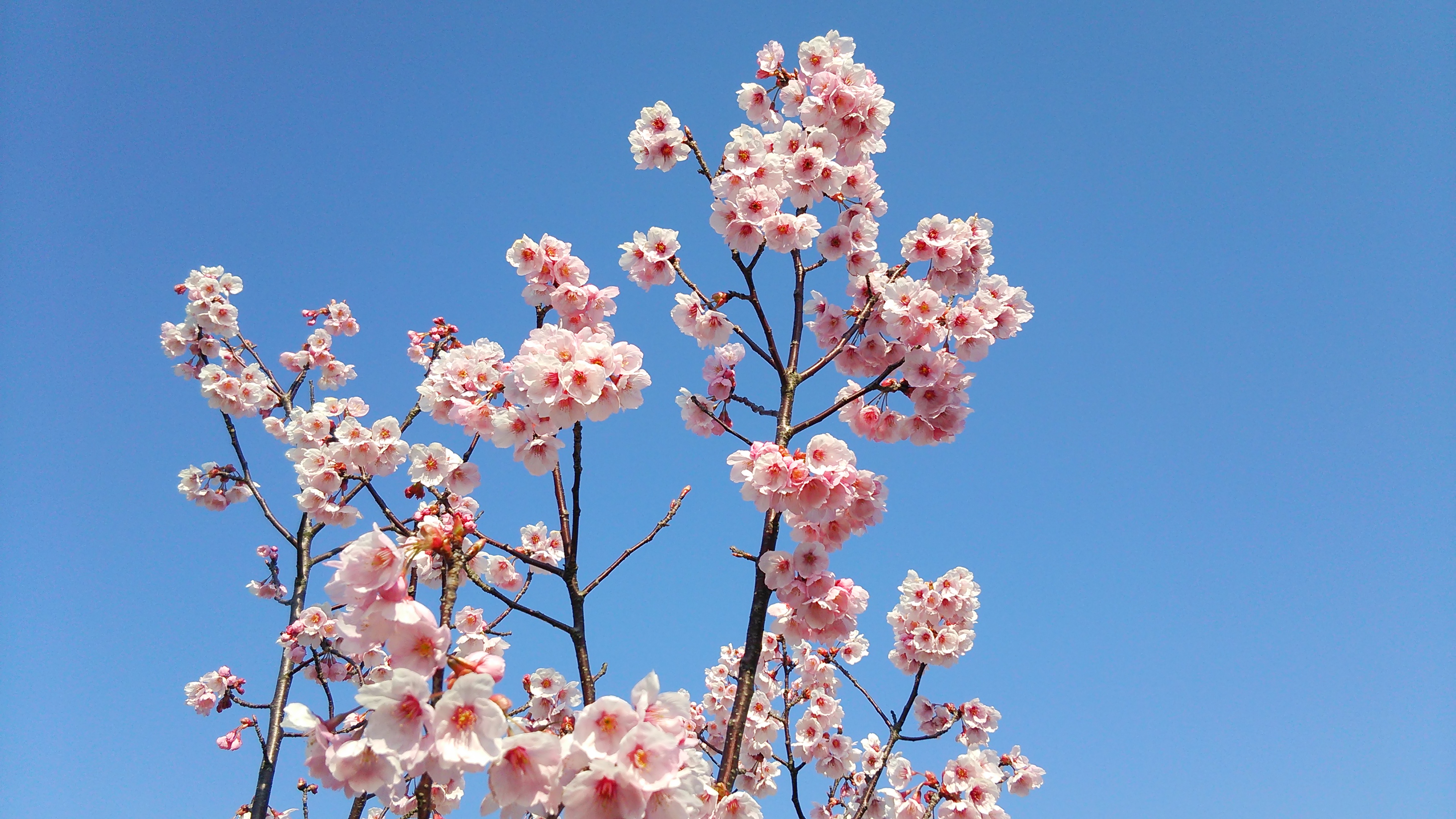 20160329桜 (1)
