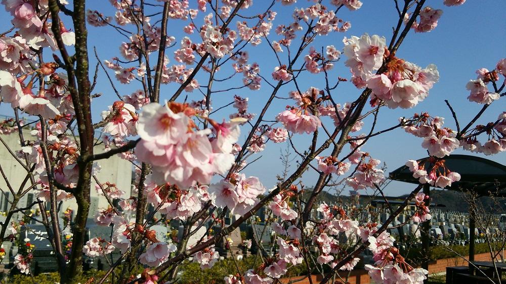 20160329桜 (3)