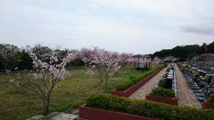 神戸大霊苑の桜